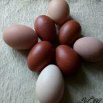 Овоскопирование яиц.